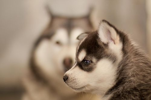 want this little husky
