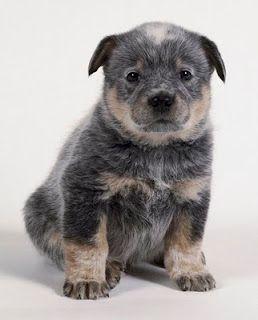 Great Chub Chubby Adorable Dog - e7c8352d4398a91993faa1b6bb84fedd  Image_714987  .jpg