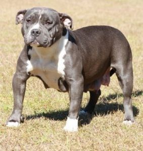 Blue Pitbull Puppies Orlando Fl Cute Baby Animals Baby Animals