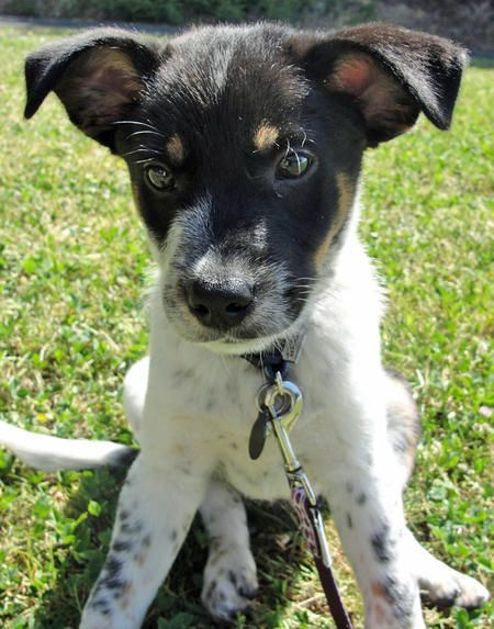Riley The Australian Cattle Dog Jack Russell Terrier Cattle