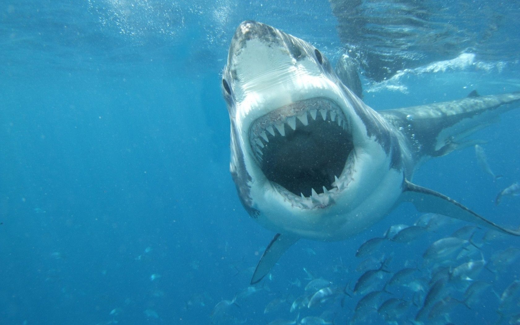Great White Shark Attack People - wallpaper.