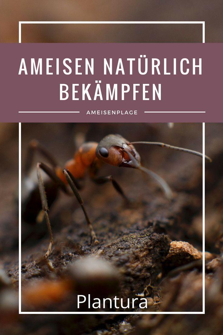 Ameisen im Haus und Garten natürlich mit Hausmitteln