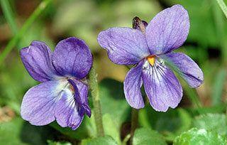 soigner amygdalite naturellement violette