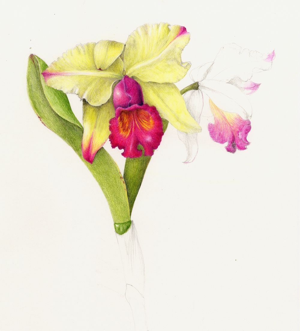 Cattleya Orchid Cattleya Labiata Botanical Illustration Botanical Art Botanical Drawings