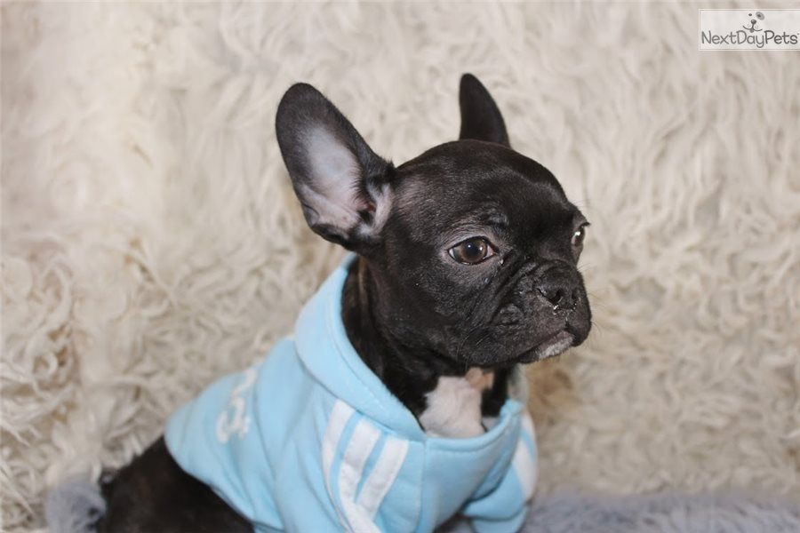 I Am A Cute French Bulldog Puppy Looking For A Home On