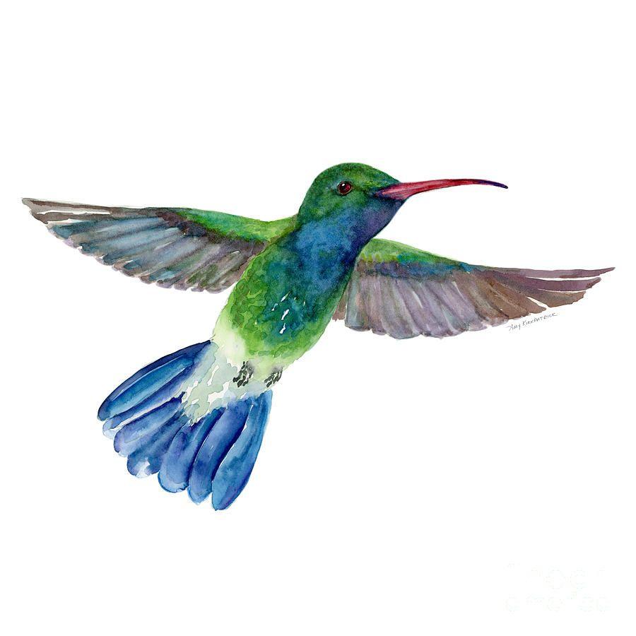 Bird Painting - Broadbilled Fan Tail Hummingbird by Amy ...