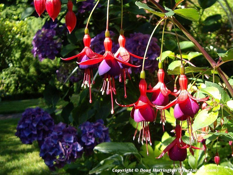 Perennial fuschias & hydrangeas in my garden.