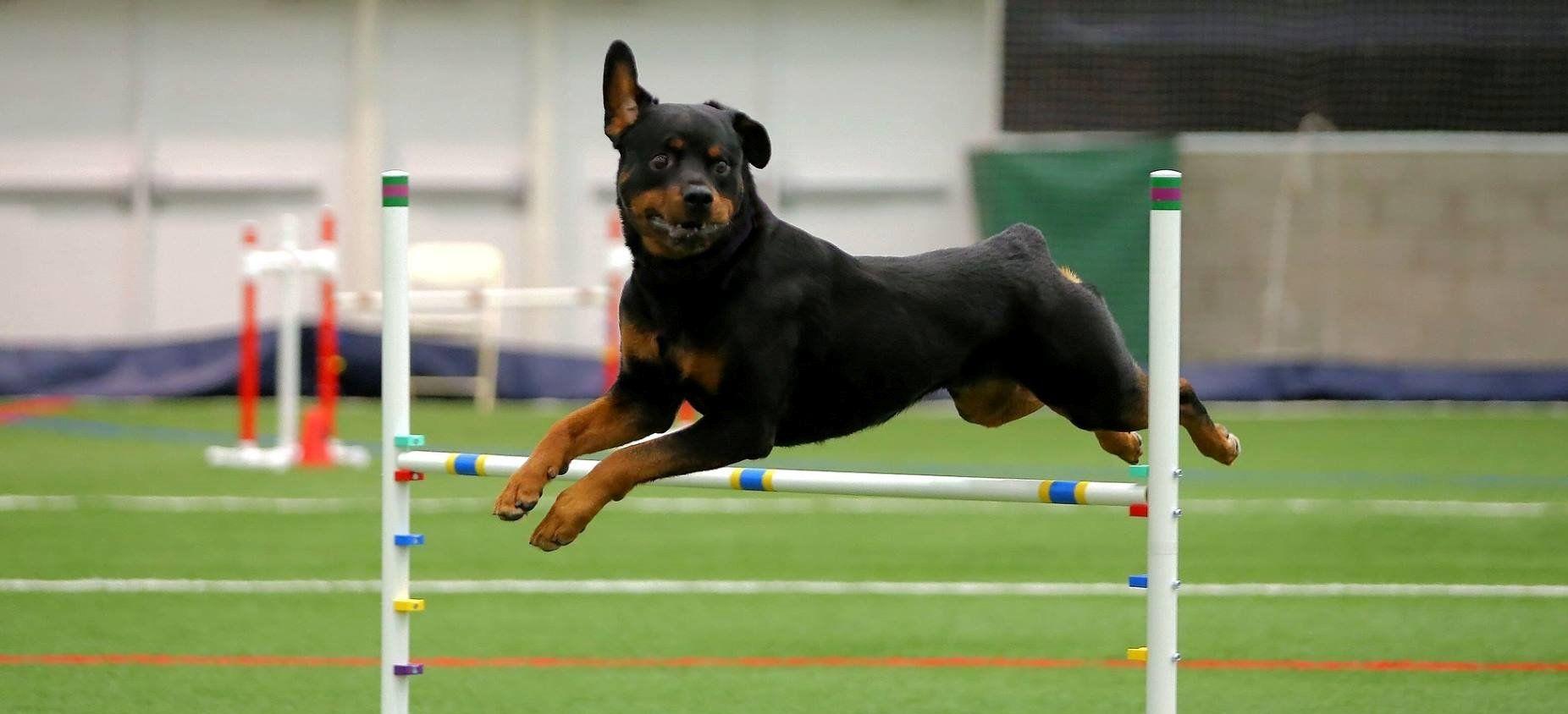 Esmond rottweilers rottweiler breeder champion and working