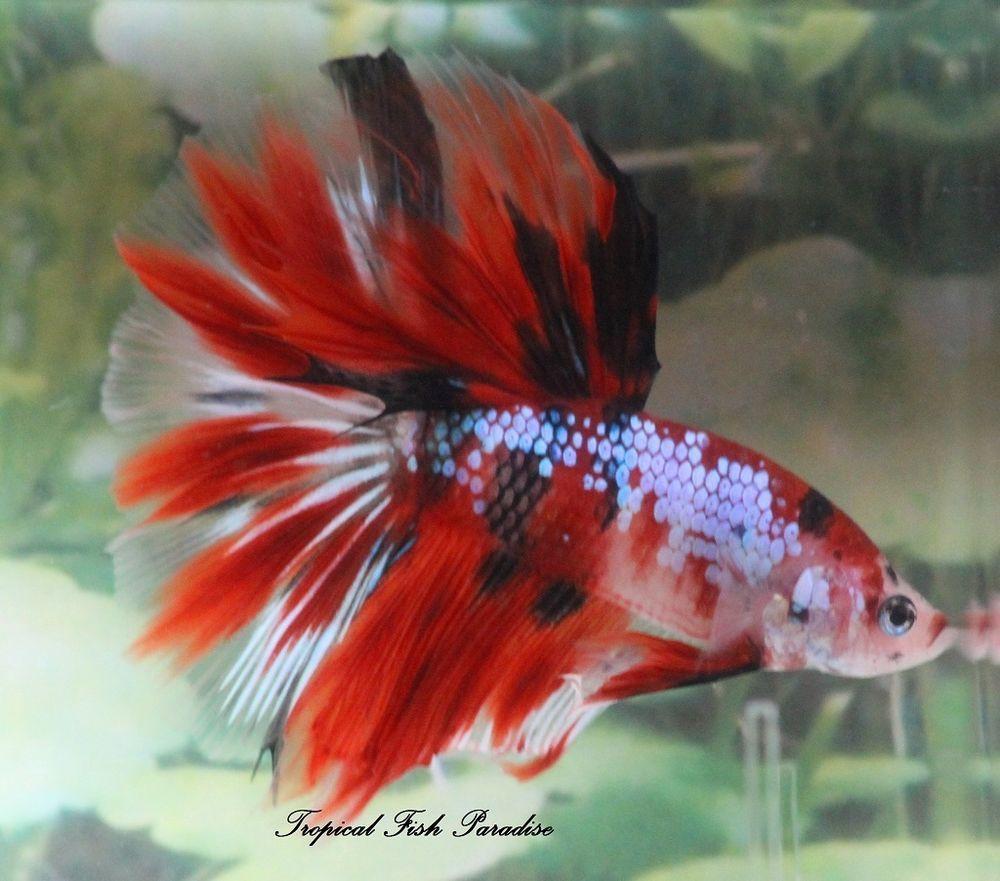 Nice Metallic Blue/Black/Red Male HM Halfmoon KOI Imported Betta ...