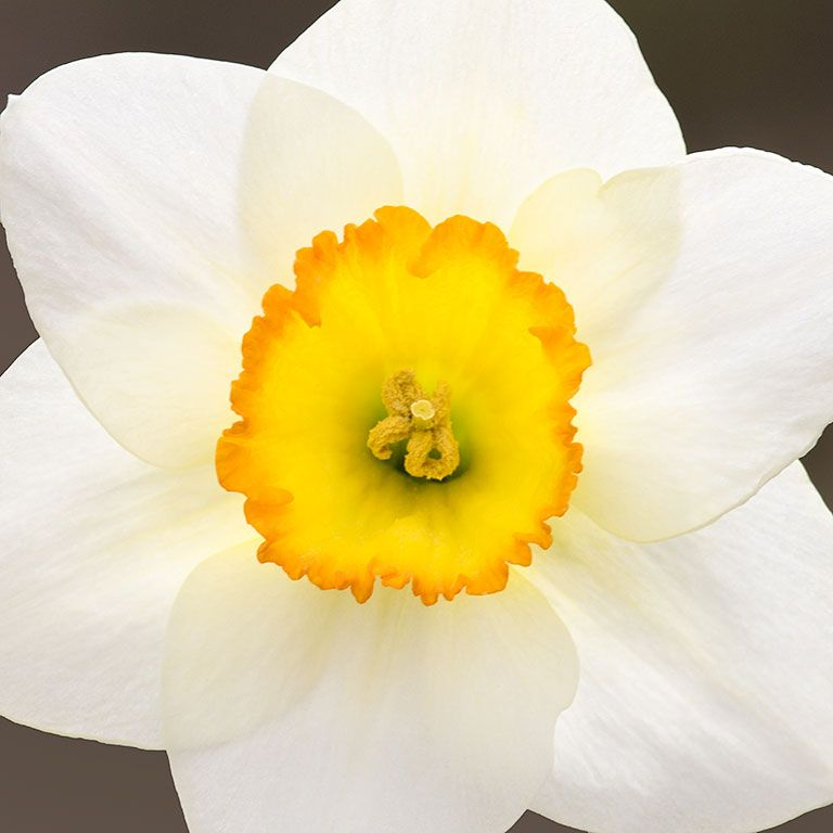 Spring Daffodil Bulb Flower Bloom Fnarcissus Emerge Macro Closeup Nature Naturephotography Artforhealing Healthcaredesign Fineartphotograph Em 2020 Amarelo