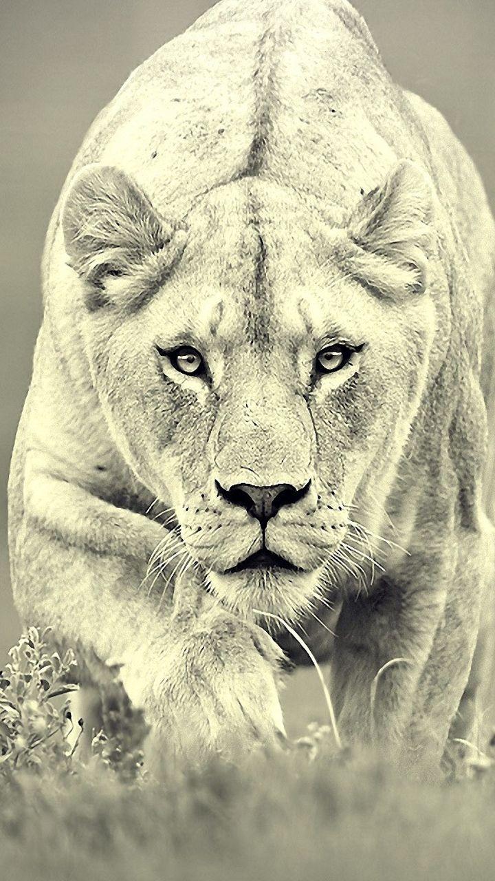 Iphone wallpaper tumblr lion - Lion Wild Animal Black While Iphone Wallpaper Mobile9 Com