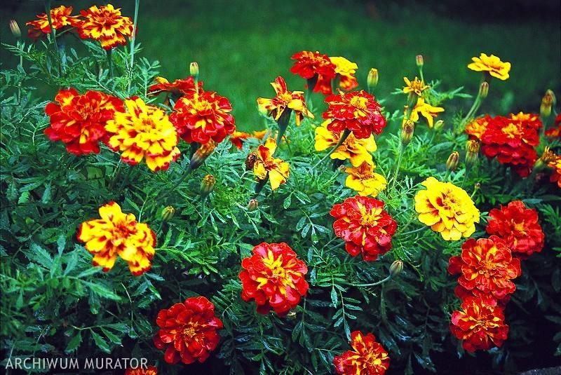 Rosliny Na Balkon Zachodni Plants