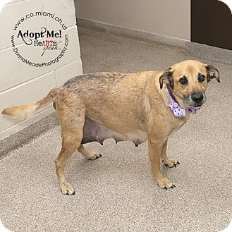Urgent I Am At A Full High Kill Shelter In Troy Oh Labrador Retriever Shepherd Unknown Type Mix Dog Adoption Labrador Retriever Labrador Retriever Mix