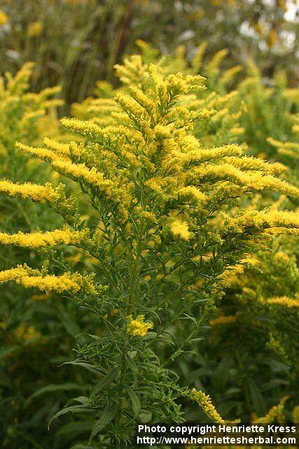Goldenrod South Carolina State Wildflower Charleston Gardens Farm Landscaping Wild Flowers