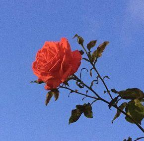 Happyandstupid Cherry Blossoms Red Aesthetic Retro Aesthetic