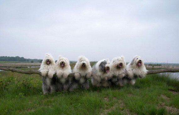 photo old-english-sheepdog-dog-sisters