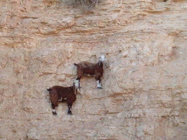 Jaw-Dropping Photos Show How Far Mountain Goats Will Go To Lick Salt