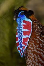 aves do paraiso da nova guiné -