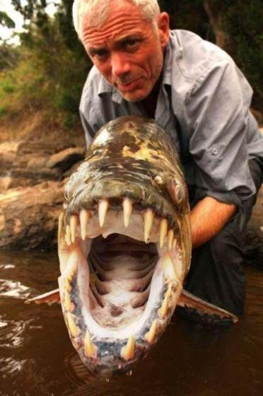 Killerfische Piranjas Futtern Am Fluss In Brasilien Alle