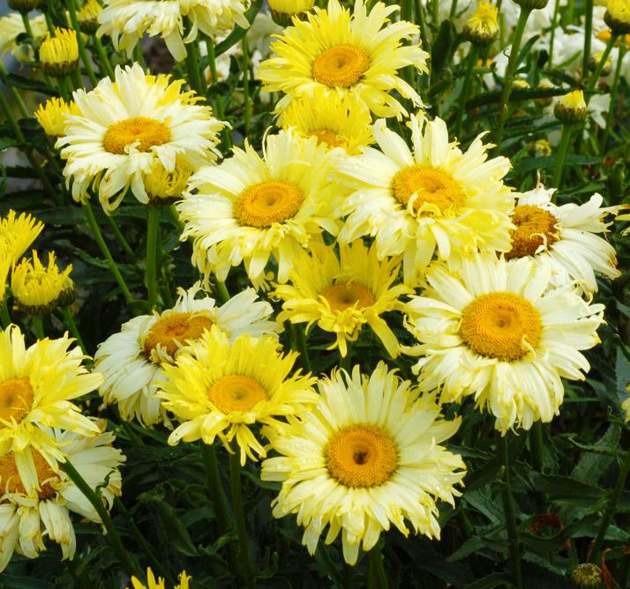 Leucanthemum goldfinch is by far the yellowest flowering shasta daisy shasta leucanthemum goldfinch this is the yellowest flowering shasta daisy ever long blooming and compact with semi double flowers izmirmasajfo Image collections