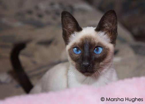 Hughes Mews Siamese Cats My Seal Point Boy Charlie S Mother Kimi Lee Siamese Siamese Kittens Siamese Cats