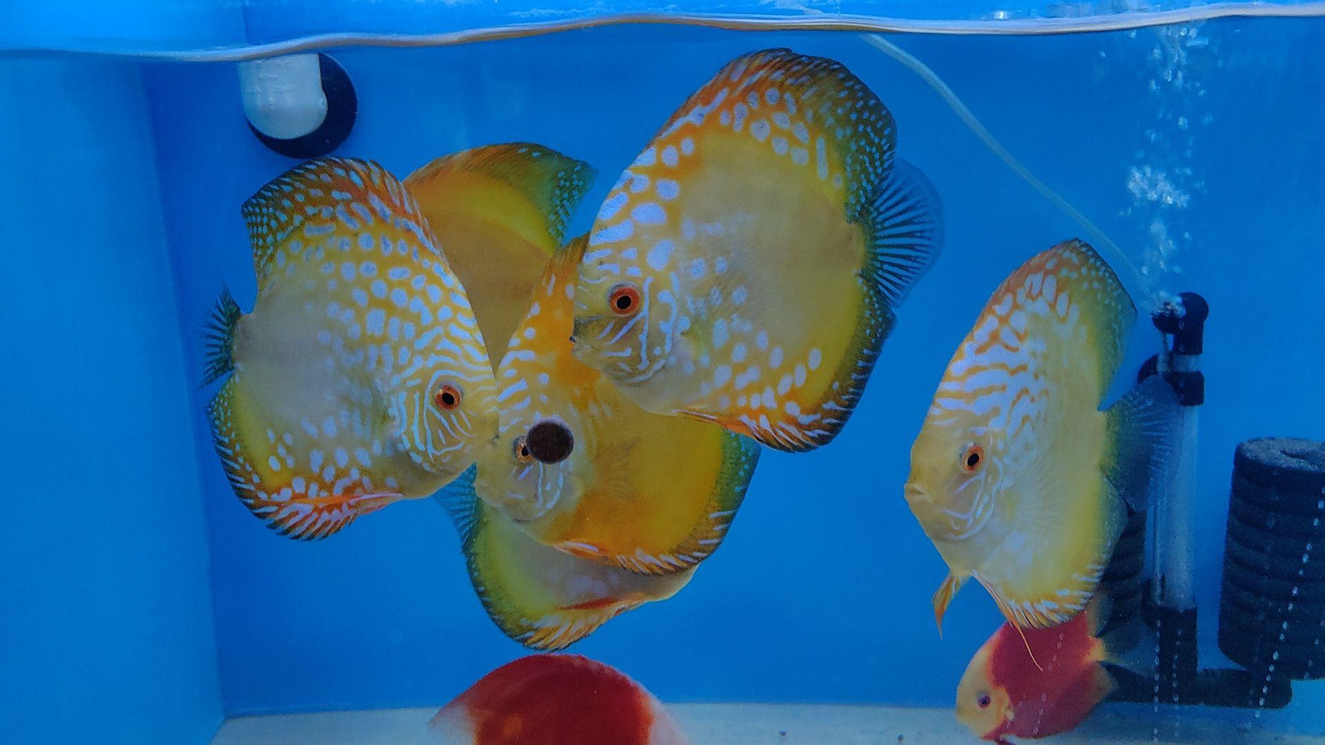 Yellow Panda Discus Fish Discus Fish Fish Fish Pet