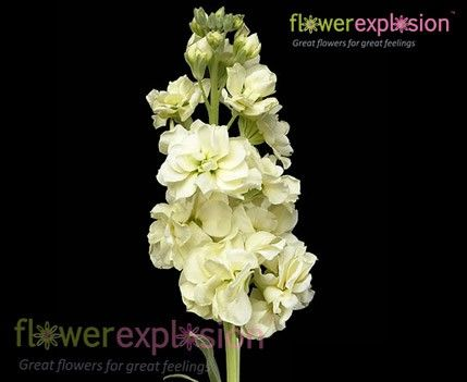 cream stock flower | Home / By Flower / Fillers and Other Flowers / Stock / Cream Stock