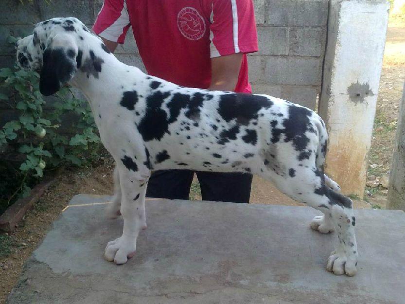 Harlequin Great Dane Puppies Great Dane Puppies Harlequin Black