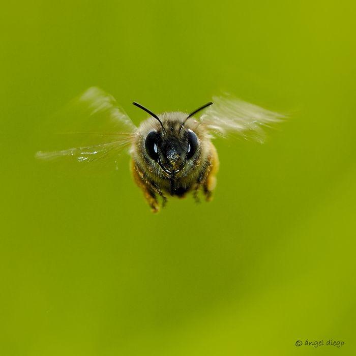 En Vuelo By Angel Diego Tiere Hummeln Bienen