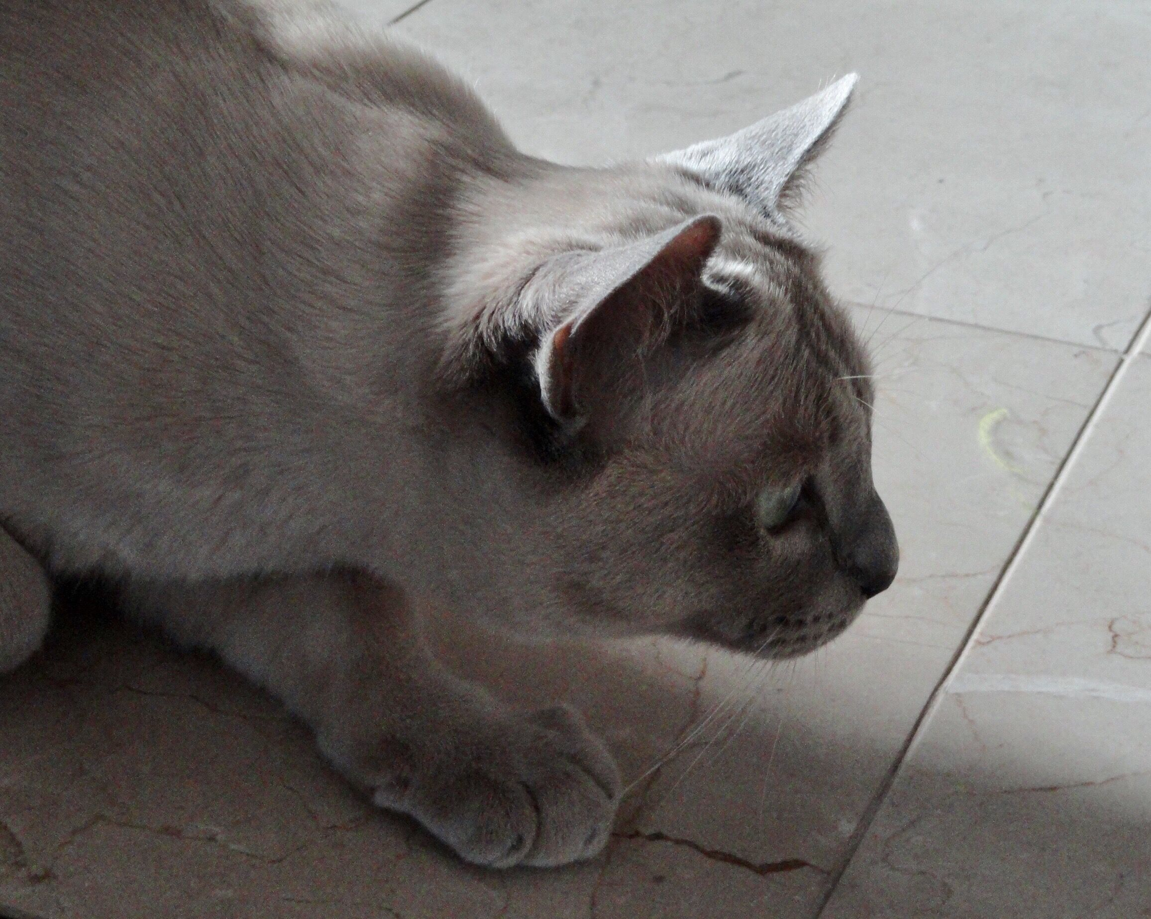 Juno , platinum point Tonkinese Cats, Tonkinese, Crazy cats