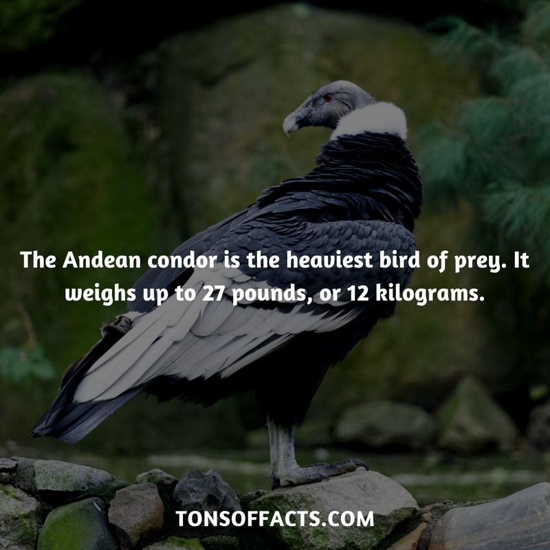 The Andean Condor Is The Heaviest Bird Of Prey It Weighs Up To 27 Pounds Or 12 Kilograms Bird Birds Ani Shark Facts Fun Facts About Animals Birds Of Prey