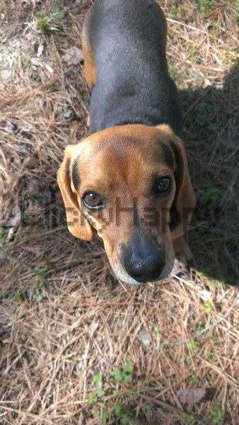 Beagle Dauchshund Mix Puppy Photography Digital Art By