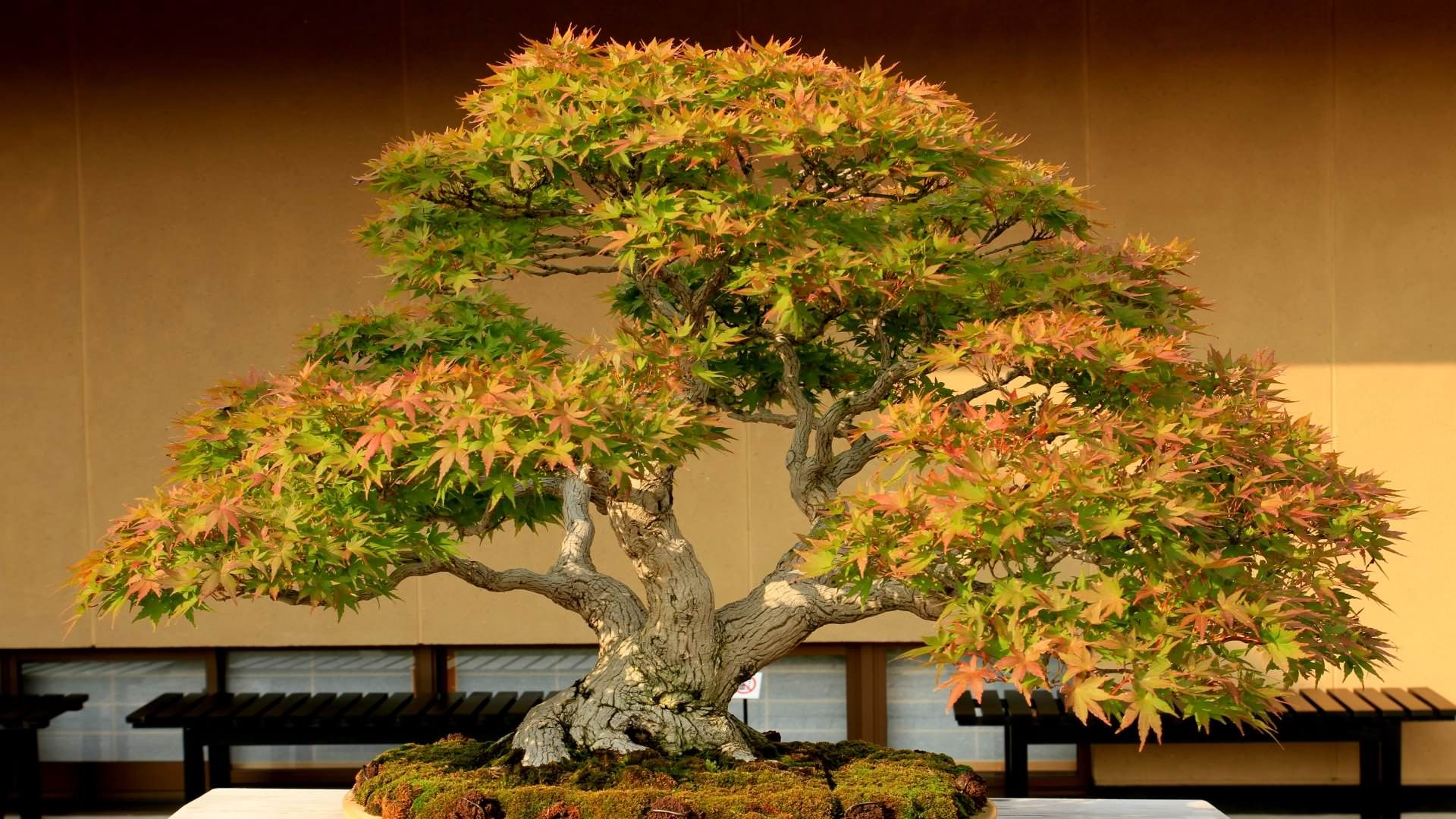 Bonsai Tree Grown In Container Hd Wallpapers 19201080 Via Classy Bro Japanese Bonsai Bonsai Tree Bonsai Art