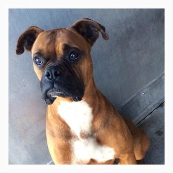Bruno the handsome Boxer Last call to save the life of a