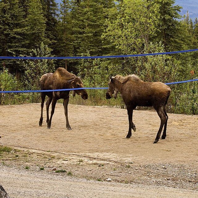 Who's ready to play? #Moose volleyball at #Denali National Park in #Alaska. Photo by Nathan Kostegian, #NationalPark Service.
