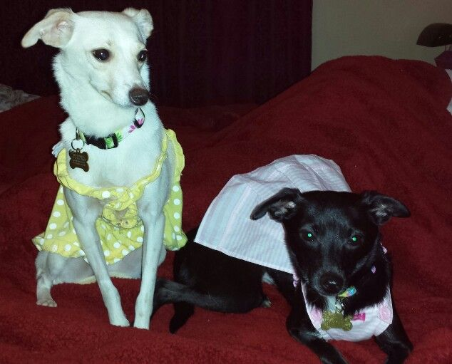 My rescue babies. They are Italian greyhound and ...