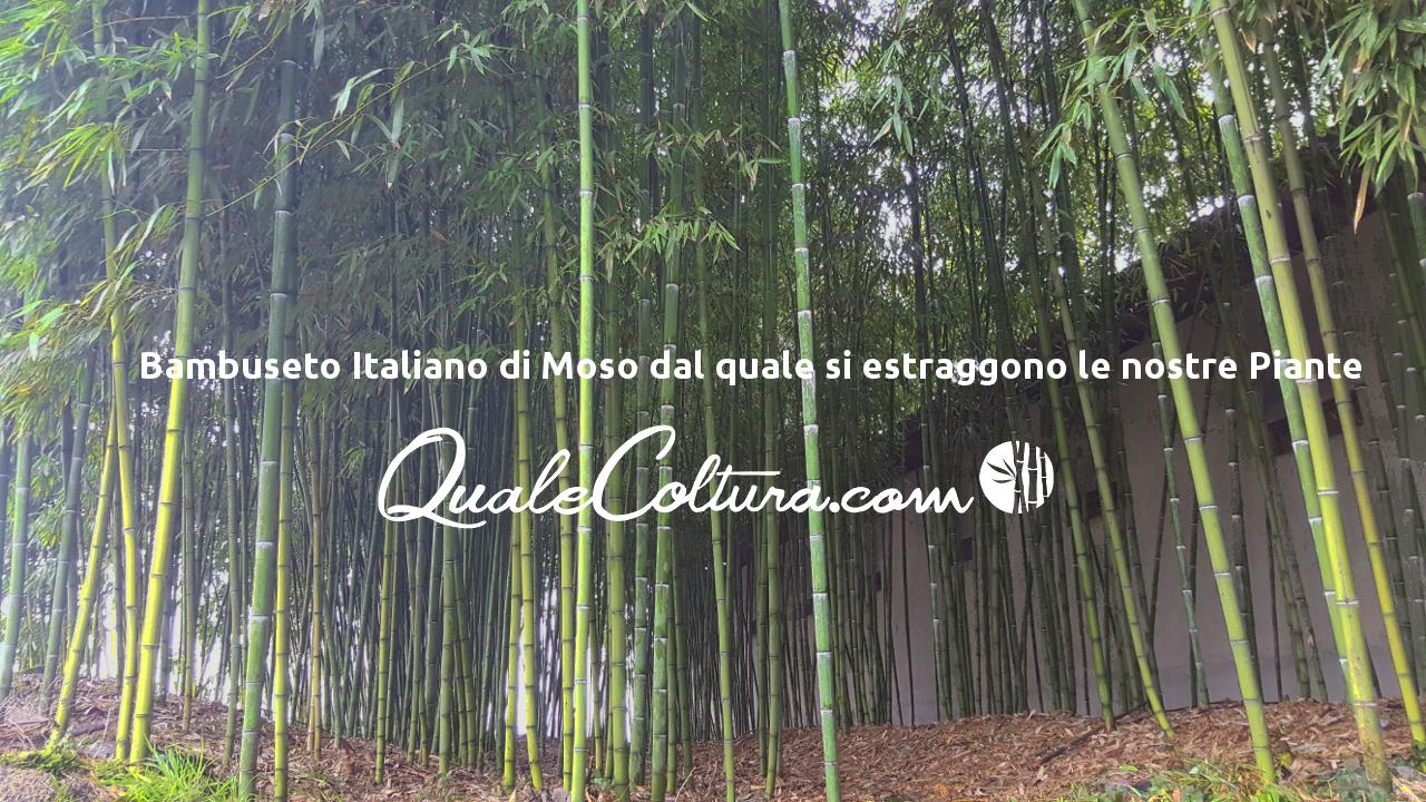 Coltivare Bamb Gigante In Italia.Le Piantagioni Avviate Di Bambu Gigante Moso E Madake Dalle
