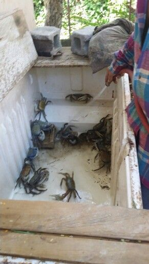 Jueyes Crabs In Spanish Jueyes Art Spanish