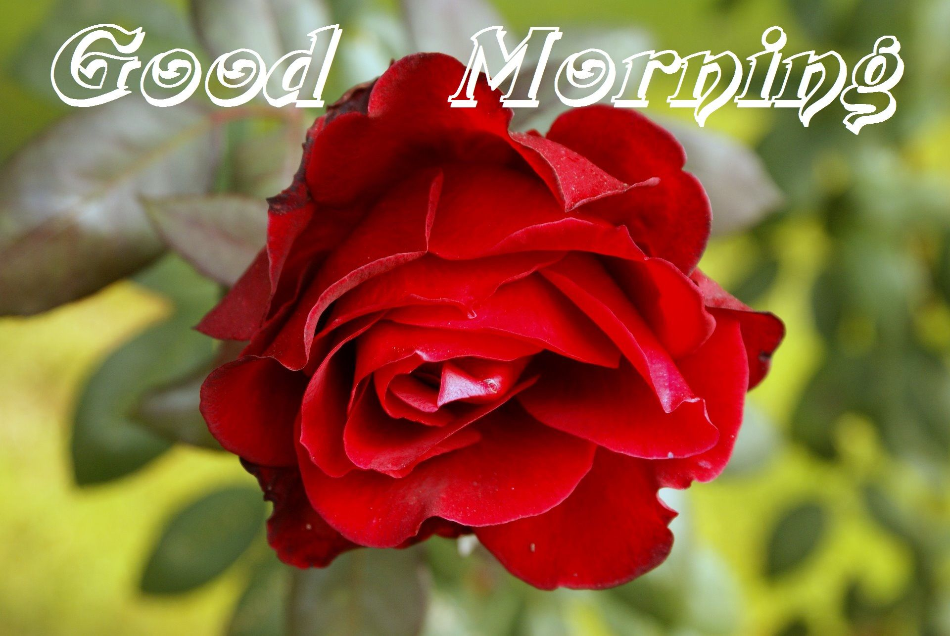 Good Morning Quotes Red Rose : Good morning red rose cards for my love