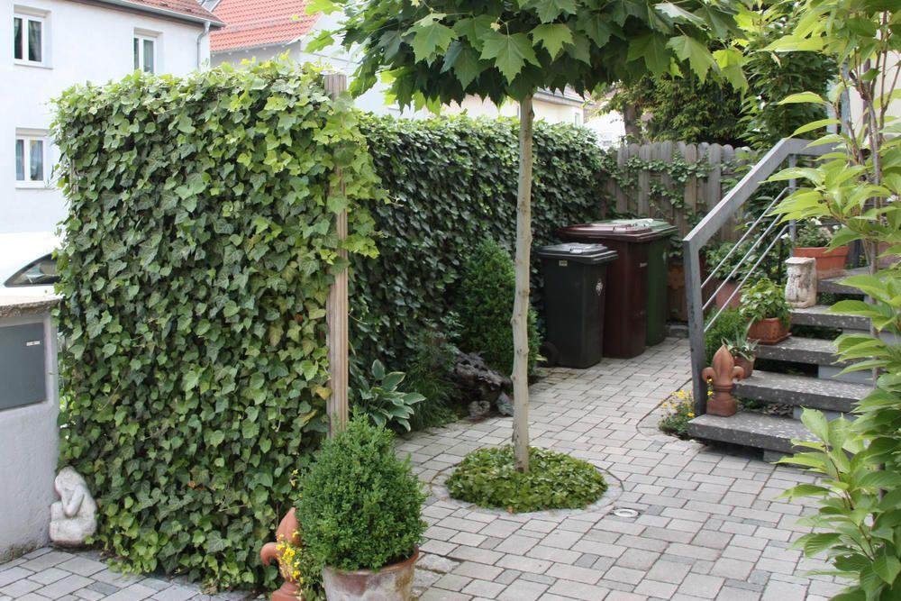 Efeu Pflanzen So Wird S Gemacht Sichtschutz Im Garten Pinterest