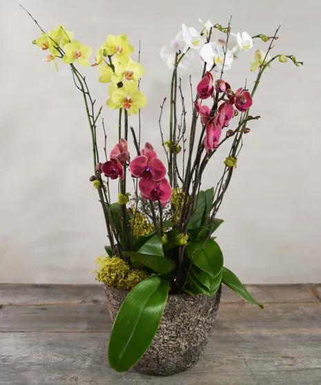 Gift Ideas For Him Ah Sam Florist Offers Premium Flower Plants Orchids San Mateo Ca Location Ahsamflorist Sanmateoflowers In 2020 Orchid Plants Orchids Plants