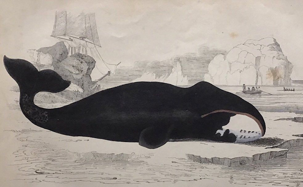 """Ex Libris on Instagram: """"Antique Whale Prints 🐳 printed in 1854 🕰Mounted & ready to frame #whale #victoriana #oldprints #antiqueart #printsforsale #gallerywall…"""""""