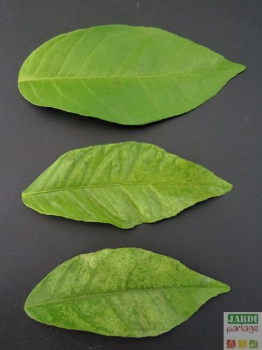 Des agrumes qui ne fructifient pas manque de fer les for Mon amaryllis ne fait que des feuilles