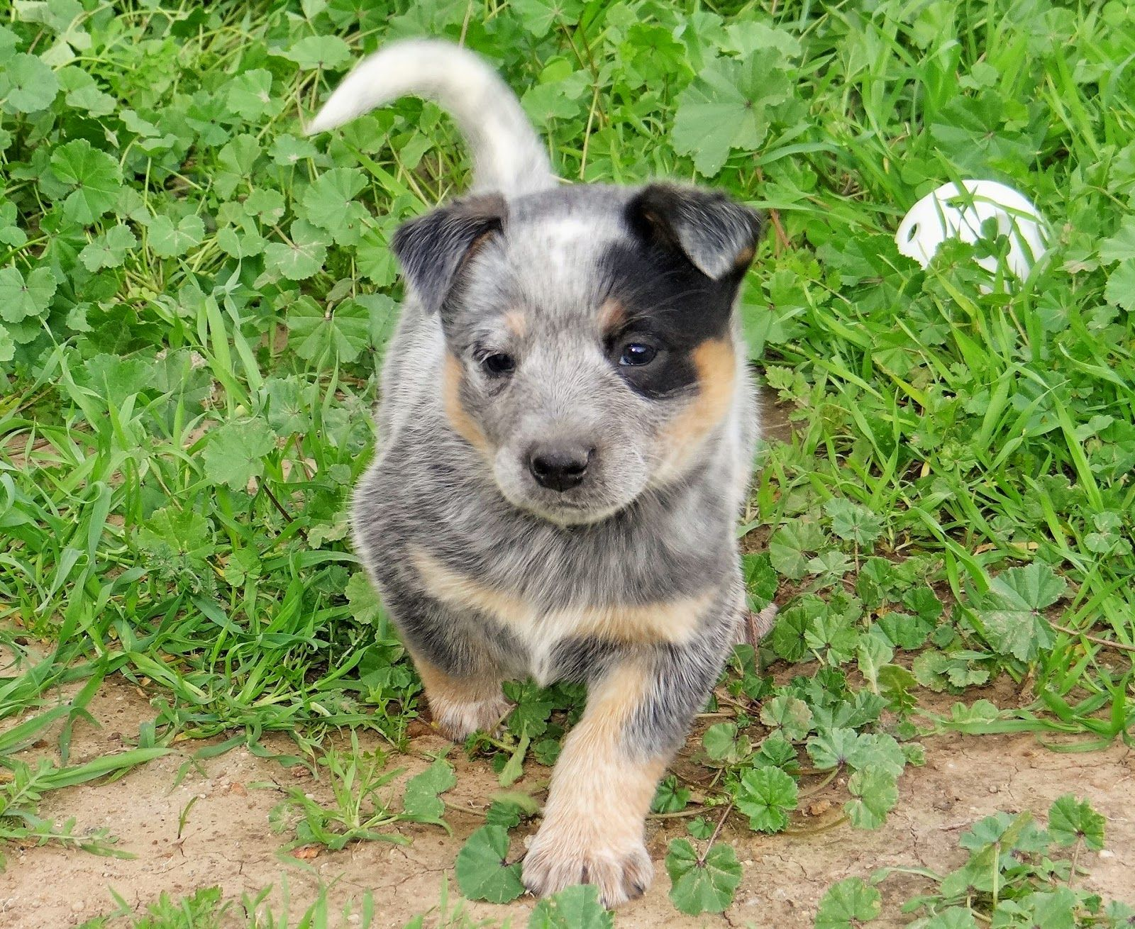 The Puppies Are All Sold Again With Images Heeler Puppies