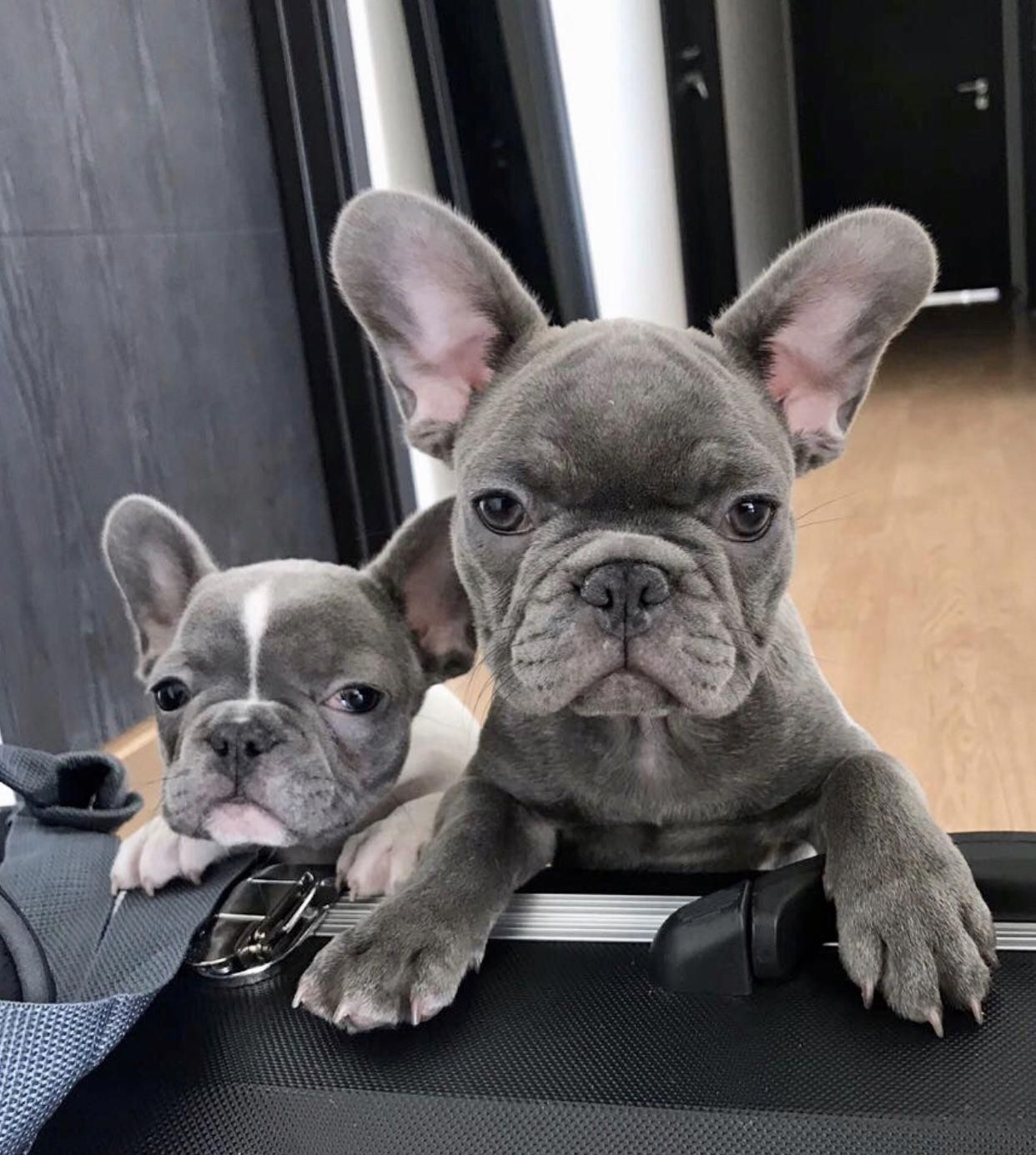 These Two Cuties Enjoying Their New Family Www Poeticfrenchbulldogs Com French French Bulldog Puppies French Bulldog Funny Blue French Bulldog Puppies