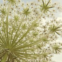 22 Regal Pictures of Queen Anne's Lace