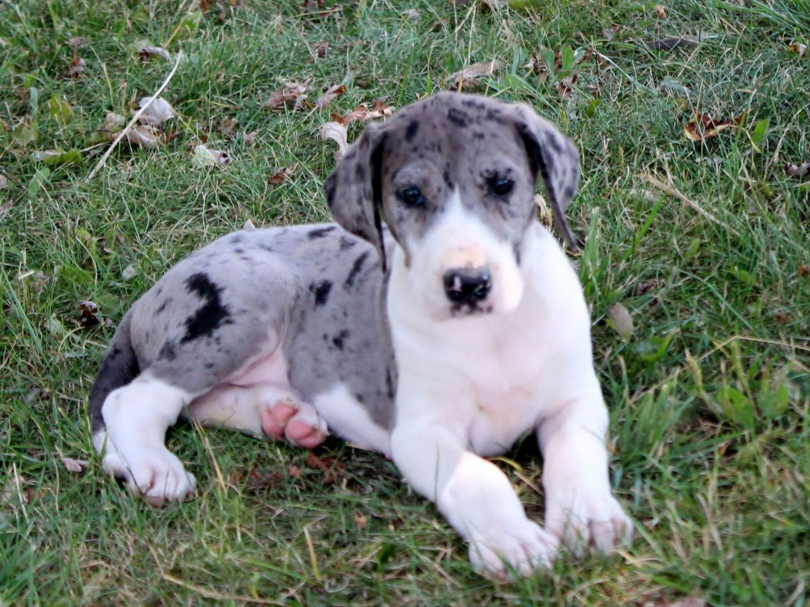 Mantle Merle Baby Merle Great Danes Great Dane Dog Show