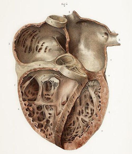 Heart anatomy, 19th Century illustration. | Heart anatomy ...