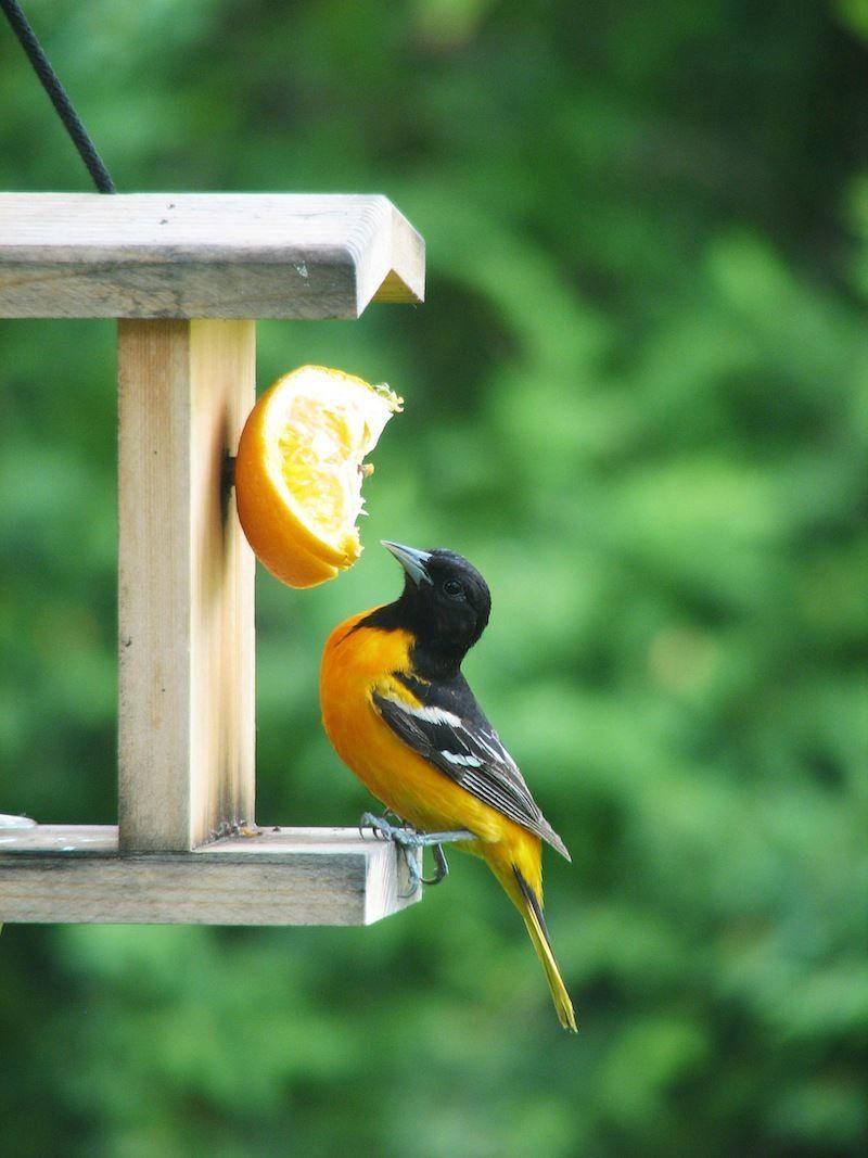 Baltimore oriole beautiful birds birds