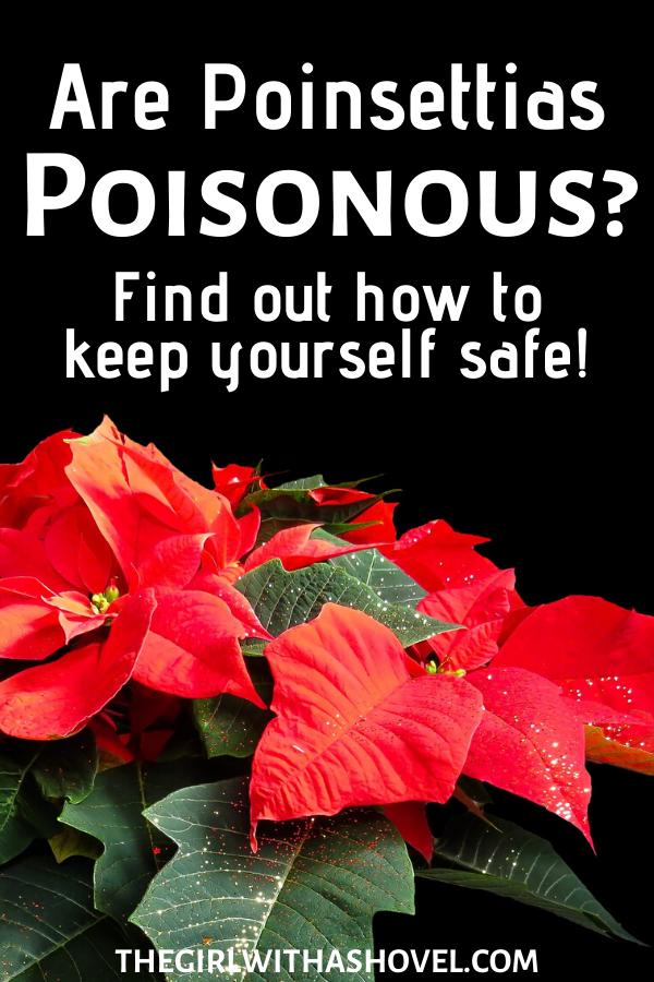 Are Poinsettias Poisonous Low Light House Plants Indoor Plant Care Apartment Plants